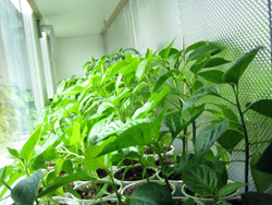 chilli_plants_folie